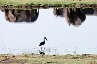 African Open-bill Stork (Anastomus lamelligerus), Chobe National Park, Botswana.
