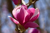 flower with open petals on magnolia tree (possibly Jane Magnolia), springtime, Bloomington, Indiana.