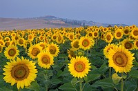 Field of Sunflowers, San Giovanni d´Asso, Tuscany, Italy