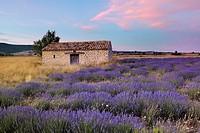 Stone house in Lavendelfeld, Lavender (Lavendula augustifolia), Sault, Plateau de Vaucluse, Alpes-de-Haute-Provence, Provence-Alpes-Cote d´Azur, Prove...