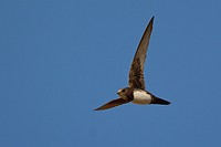 Alpine swift (Tachymarptis melba), Crete