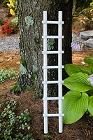 Decorative white wooden ladder against a large Pinus - Pine tree trunk covered with Bryophyta - Green Moss and Lichen growth, Hosta ´Colossal´ plant i...
