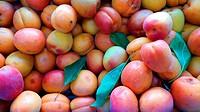 Albarillo, seasonal fruit, miajadas, Extremadura, Caceres, Spain