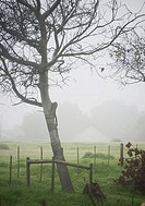 A tall tree stands in a fenced meadow on the edge of a farm on a mist morning. Cape Town, South Africa.