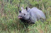 Indian rhinoceros (Rhinoceros unicornis) standing in elephant grass, threatened species, Kaziranga National Park, Assam, India.