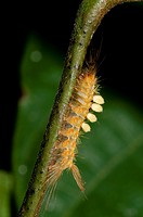 Tussock Moth Caterpillar (Lepidoptera order, Lymantriidae family) with long hairs for protection, Klungkung, Bali, Indonesia.