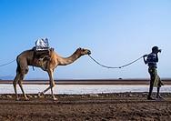 Ethiopia, Afar Region, Dallol, afar tribe man camel caravans carrying salt blocks in the danakil depression.