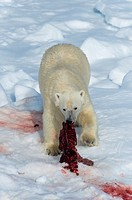 Male Polar Bear (Ursus maritimus) on the pack ice, feeding on the remains of a preyed seal, Spitsbergen Island, Svalbard archipelago, Norway, Europe.