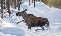 Moose running in deep snow oveer a snow covered road, Swedish Lapland, Gällivare, Sweden.