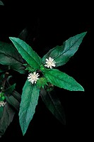 Eclipta Alba. Family: Compositae. A well-known ayurvedic herb which grows in moist areas. The plant extract is made into hair tonic and oil.