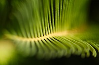 Cycas revoluta, leaves out of focus. Parque de Maria Luisa. Seville, Spain.