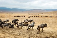 Wildebeests in Ngorongoro crater in Tanzania.