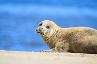 Harbor Seal (Phoca vitulina) resting on sand dune. Blakeney National Nature Reserve. Norfolk. England. UK.