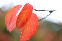 beautiful prunus ichico japanese cherry red autumn leaves on its branch.
