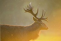 Red deer, Cervus elaphus, Male, in Rutting Season, Europe.