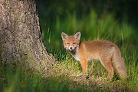 Red fox cub (Vulpes vulpes) in forest, Germany.