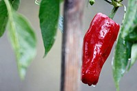 The pepper is one of the vegetables most commonly used when essential cocinar.Ingrediente of many dishes, peppers come in a variety of forms, colors a...