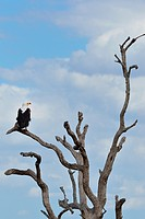 African fish eagle (Haliaeetus vocifer), perched on a branch of a dead tree, Kruger National Park, South Africa, Africa.