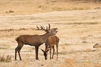 Red deer (Cervus elaphus). Madrid, Spain