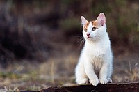 Portrait of a white and red kitten sitting on a wall in the garden.