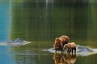 Grizzly Drinking Water Wrangell Bear Preserve Alaska.