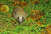 Western European hedgehog. Western Hedgehog. Northern Hedgehog (Erinaceus europaeus). Covelo. Pontevedra. Spain. Europe.