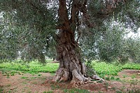 ancient olive trees, Contrada Coccaro, Savelletri di Fasano, Brindisi province, Puglia, Italy, Europe.