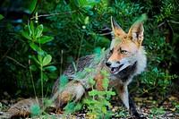 Red fox (vulpes vulpes) at Arrábida mountain range.