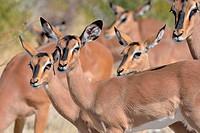 Black-faced impalas (Aepyceros melampus petersi), group of females, Etosha National Park, Namibia, Africa.