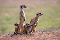 Suricate (Suricata suricatta), alert to the possible attack of a predator. While watching the rest of the group is dedicated to hunt all kinds of inse...