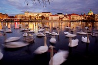 Large group of mute swans (Cygnus olor) on Vltava river. Prague. Bohemia. Czech Republic.