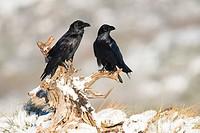 big crow (Corvus corax), photographed in espinar segovia.