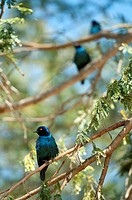 Trio of Cape Glossy Starlings (Lamprotornis nitens) in tree, Kruger National Park, Transvaal, South Africa.