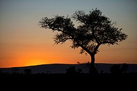 Tree silhouette at dusk, Kruger National Park, Transvaal, South Africa.