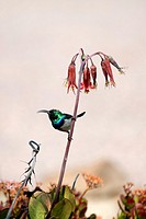 Whitebellied Sunbird (Nectarinia talatala), Ant's Hill Reserve, near Vaalwater, Limpopo province, South Africa.