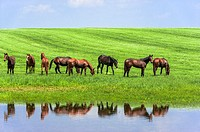 Horses grazing. Scenic highway in Franklin County, Kentucky, USA.