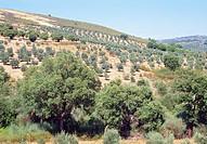 Olive groves. Las Villuercas, Caceres province, Extremadura, Spain.