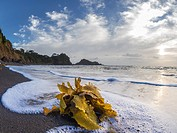 Waves washing kelp over beach at sunrise. Dolphin Bay, Tutukaka, Northland, New Zealand, South Pacific Ocean.