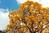 Tabebuia chrysantha National Tree of Venezuela since being an emblematic native species of extraordinary beauty