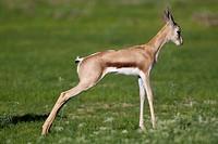 Springbok (Antidorcas marsupialis) - Lamb, Kgalagadi Transfrontier Park in rainy season, Kalhari Desert, South Africa/Botswana.