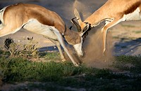 Springbok (Antodorcas marsupialis), fighting, Kgalagadi Transfrontier Park in rainy season, Kalhari Desert, South Africa/Botswana.