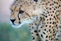 Cheetah (Acinonyx jubatus) - Young, Kgalagadi Transfrontier Park, Kalahari desert, South Africa/Botswana.