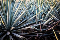 Sunrise over Agave field, Tequila production, Jalisco, Mexico.