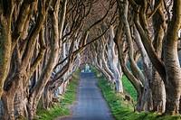 UK, Northern Ireland, County Antrim, Ballymoney, The Dark Hedges, tree lined road, dawn.