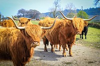 Long haired and horned Aberdeen Angus cows in a Scottish farm, Scotland, United Kingdom.