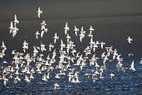 Shorebird flock, Beach Front Park, Crescent City, California.