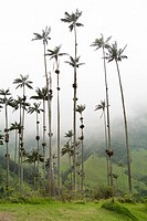 Wax palm trees, The Corcora valley, part of the Los Nevados National Natural Park, near Salento, Colombia, South America.