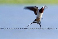 Swallow taking off from a barbed wire, Spain.