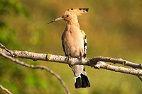 Hoopoe (Upupa epops). Photographed in the Regional Park around the Guadarrama River Madrid.