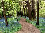 Path through Bluebells at Middleton Woods near Ilkley West Yorkshire England.